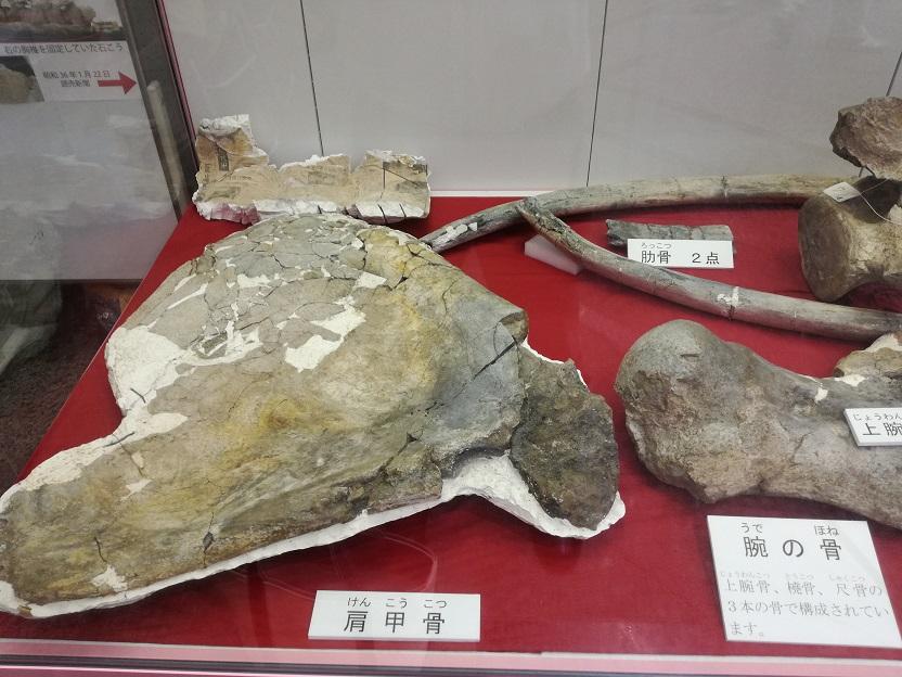 アキシマクジラの化石