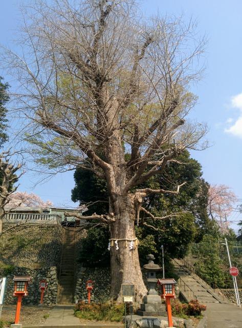 中神熊野神社の大いちょう
