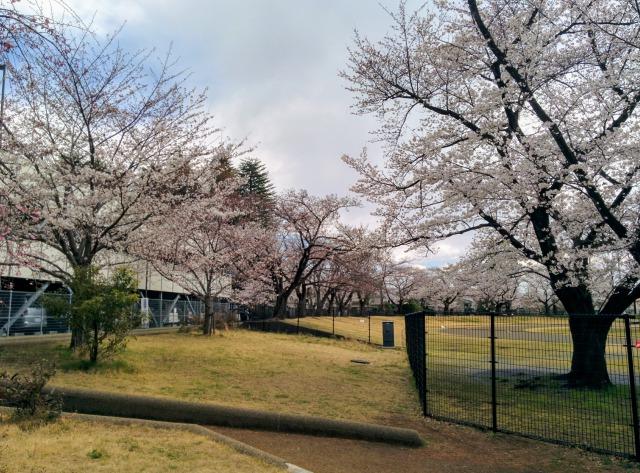 昭和公園の桜